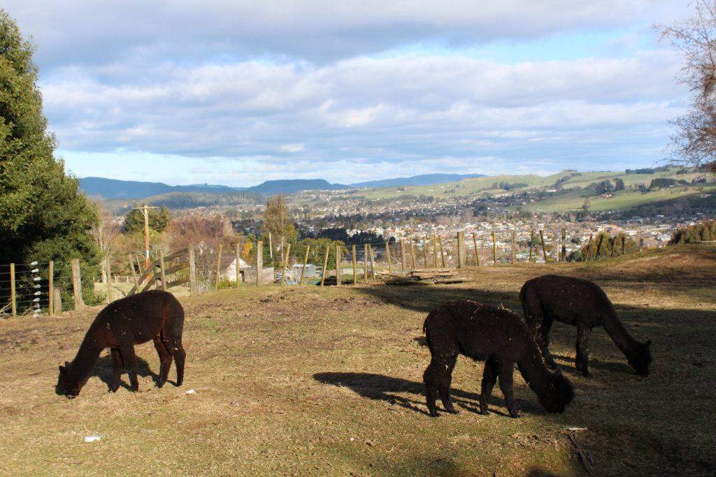 Alpaca Rotorua