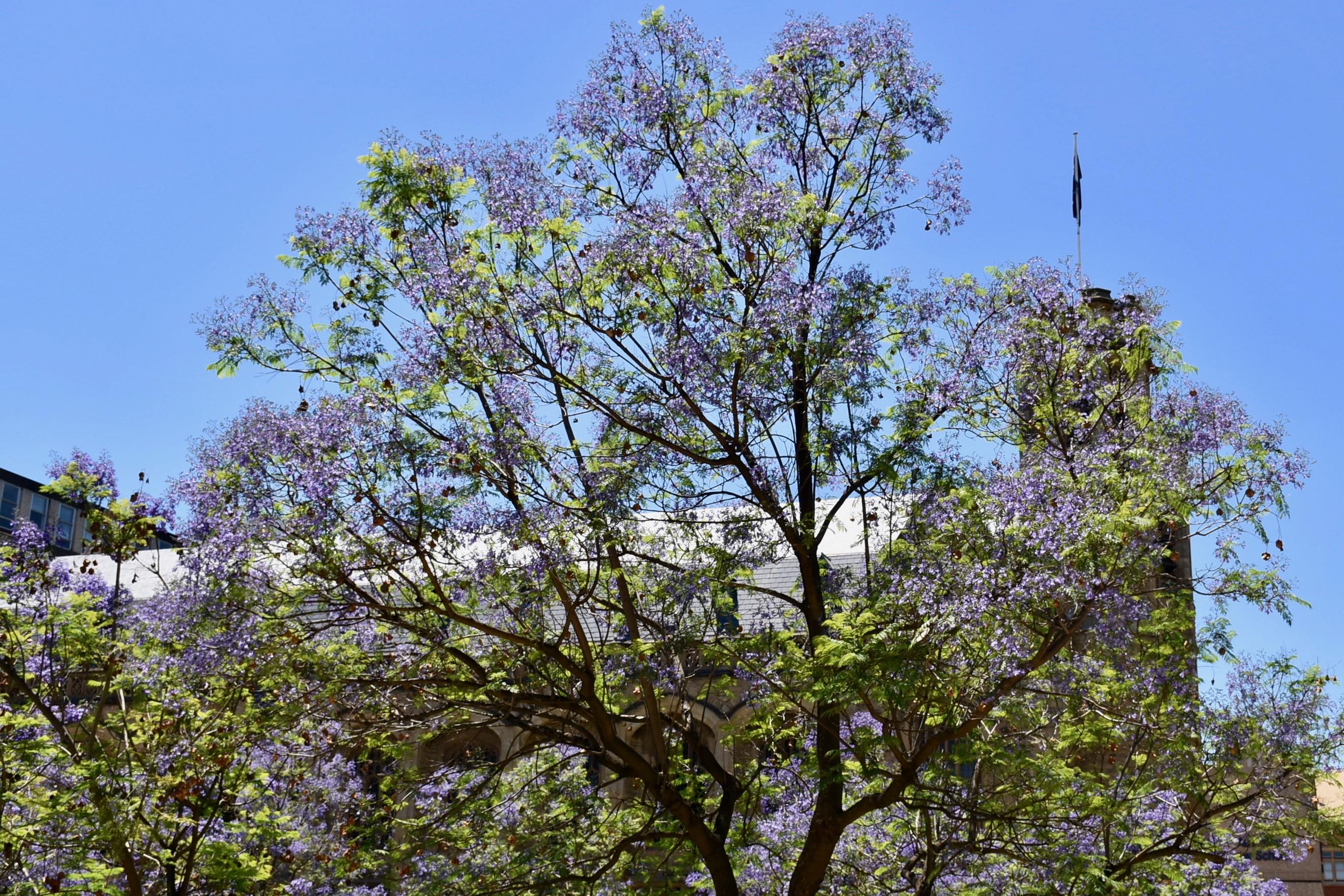 Jacaranda trees Adelaide